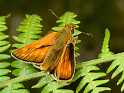 Close-up of a male Large skipper butterfly (Ochlodes sylvanus) resting with open wings on bracken in a Norfolk woodland habitat in summer