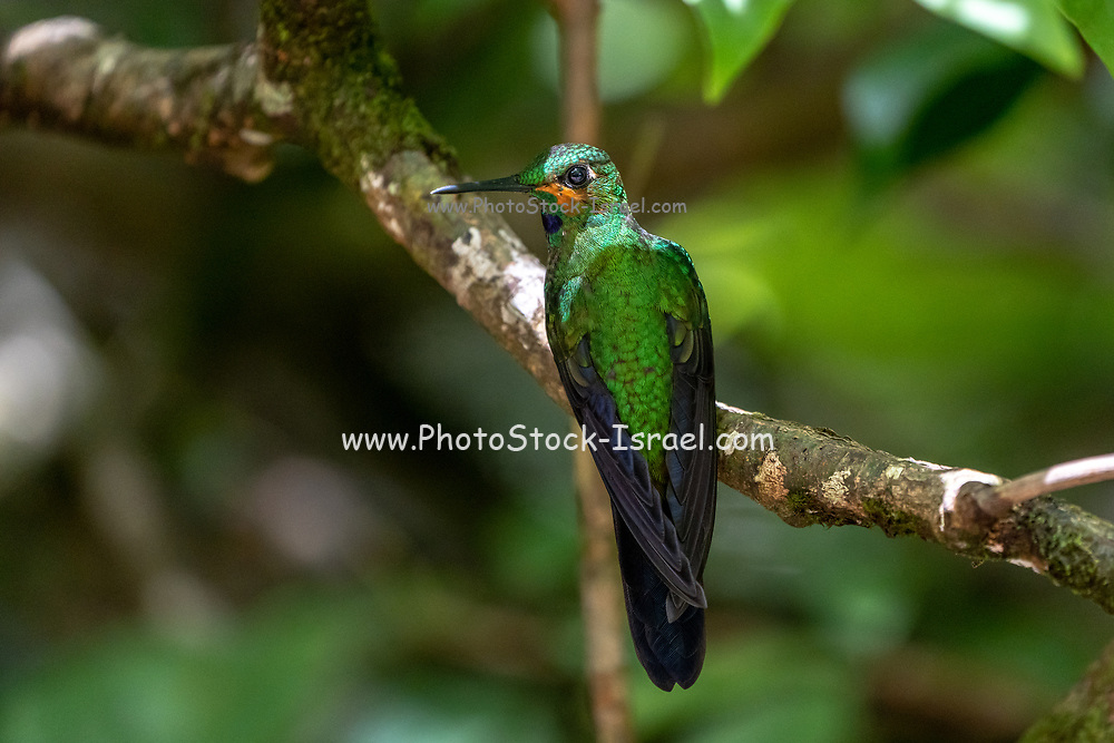 A Juvenile male green-crowned brilliant hummingbird (Heliodoxa jacula) on a branch as seen from behind in the Costa Rican rainforst