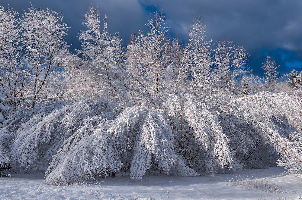 Heavy snow bends laden Birch tree branches at edge of forest in winter, Bristol, NH