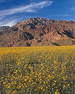 CADDV_047 - USA, California, Death Valley National Park, Huge field of desert sunflower blooms beneath the Black Mountains.