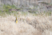 Photograph of Gila Woodpecker (Melanerpes uropygialis) from San Pedro Riparian National Conservation Area, AZ