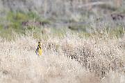Photograph of Gila Woodpecker (Melanerpes uropygialis) from San Pedro Riparian National Conservation Area, AZ