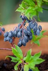 Blueberry 'Bluedrop'. Vaccinium corymbosum