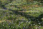 Woodlands with Bluebell & Wood Anemone flowers, Yockletts Bank, Kent, UK, Kent Wildlife Trust, Hyacinthoides non-scriptus & Anemone nemorosa, protected