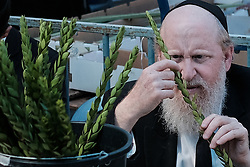 October 3, 2017 - Jerusalem, Israel - A Jewish religious man meticulously inspects the haddas, boughs with leaves from the myrtle tree and one of the 'Four Species' as ordered in Leviticus 23:40, in the Mea Shearim neighborhood. Any slight imperfection invalidates the fruit. Preparations are underway for Sukkot, the Jewish Feast of Tabernacles. (Credit Image: © Nir Alon via ZUMA Wire)