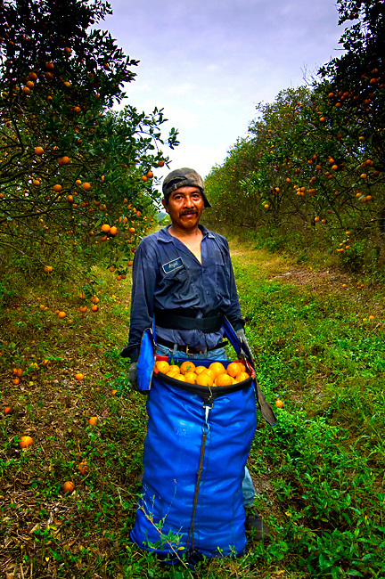 Orange picker with a full bag of oranges in the Seminole Orange Grove in Immokalee, Florida.  Photographed for Southern Progress Publishing and the Imokalee Seminole Gaming Magazine.
