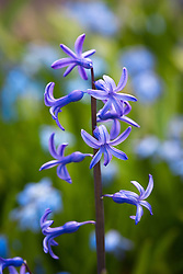 Hyacinthus orientalis - <br /> Roman hyacinth