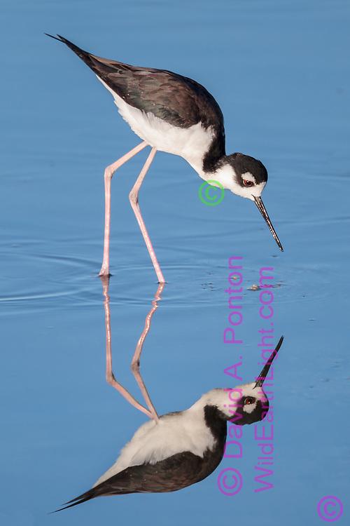Black-necked stilt wading in shallows is poised to strike, with reflection, Salton Sea, CA, © David A. Ponton