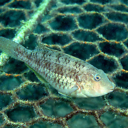 Emerald Parrotfish inhabit shallow seagrass beds, occasionally in sand and coral rubble mixed with gorgonians in Tropical West Atlantic; picture taken Isla Cubagua, Venezuela.