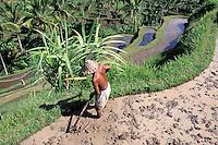 Indonesie, Bali, Riziieres a Pujung dans les environs de Ubud // Indonesia, Bali, Rice field, Pujung, near Ubud