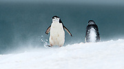 Snowy Chinstrap Penguins (Pygoscelis antarcticus) on Penguin Island, South Shetland Islands, Antartctica
