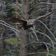Adult great gray owl bringing in prey to feed babies in nest during spring in Montana.