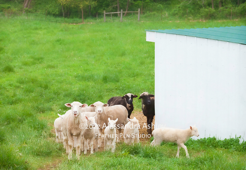 Flock of sheep with lambs at Malabar Farm State Park. Image featured on promotional postcard for Malabar Farm.