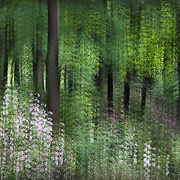 Multiple-exposure montage, trees surrounded by spring rhododendron bloom along woodland trail.