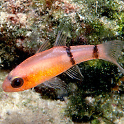 Barred Cardinalfish hide during day in dark recesses in reefs in Tropical West Atlantic; picture taken Turks & Cacios.