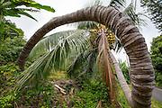 Twisted Coconut Palm Tree, Honaunau,  Big Island of Hawaii