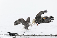 Bald Eagles (Haliaeetus leucocephalus) sparring along the Chilkat River in the Chilkat River Bald Eagle Preserve in Southeast Alaska. Winter. Afternoon.