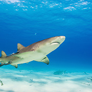 A lemon shark (Negaprion brevirostris) swimming over a sandy seabed off Grand Bahama Island, Bahamas.
