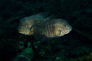 Texas Cichlid<br />