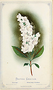 Deutzia gracilis, the slender deutzia, is a species of flowering plant in the hydrangea family Hydrangeaceae, native to Japan. It is a deciduous shrub with opposite, simple leaves, and slender, arching stems. The flowers are white, borne in spring and summer. from Dewey's Pocket Series ' The nurseryman's pocket specimen book : colored from nature : fruits, flowers, ornamental trees, shrubs, roses, &c by Dewey, D. M. (Dellon Marcus), 1819-1889, publisher; Mason, S.F Published in Rochester, NY by D.M. Dewey in 1872