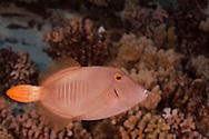 Barred Filefish, Cantherhines dumerilii, (Hollard, 1854), Molokini Crater, Hawaii