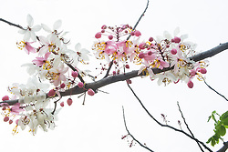 Cassia Bakeriana Pink Shower Wishing Tree#4