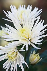 Chrysanthemum 'Anastasia White'
