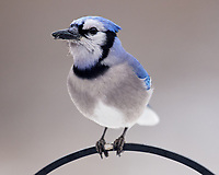 Blue Jay. Image taken with a Nikon D5 camera and 600 mm f/4 VR lens