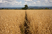 Wheat field on agricultural farmland near Dorstone in the Golden Valley, Herefordshire, United Kingdom. The Golden Valley is the name given to the valley of the River Dore in western Herefordshire, England. The valley is a picturesque area of gently rolling countryside.