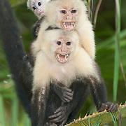 White-headed or white-faced capuchin monkeys (Cebus capucinus) in a tree. Costa Rica