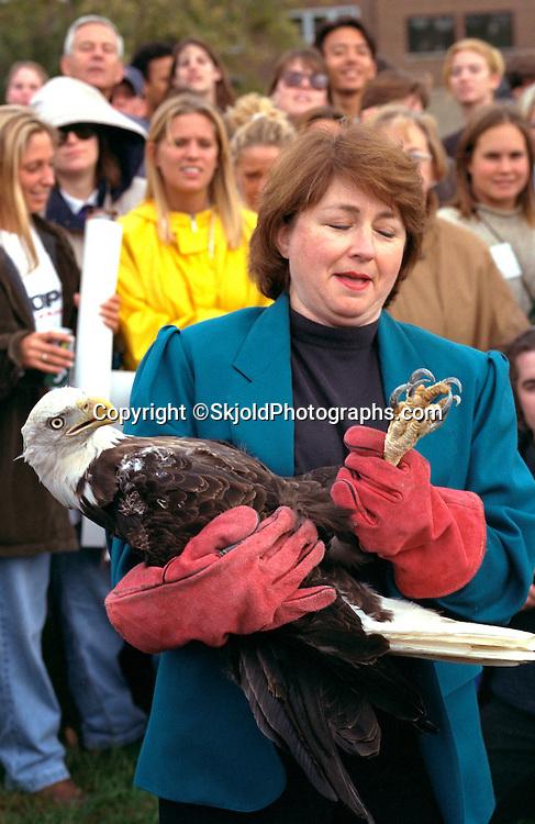Woman age 37 releasing eagle from University of Minnesota raptor center.  Minneapolis  Minnesota USA