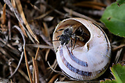 Male Two-coloured mason-bee (Osmia bicolor), the bee is building its nests in a empty snail shell. | Zweifarbige Schneckenhausbiene (Osmia bicolor) Männchen