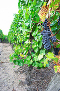 pinot gris sandy soil vineyard brand gc turckheim alsace france