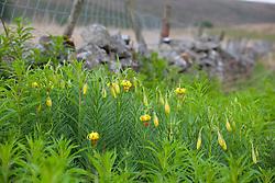 Yellow martagon lily grwoing on a laneside verge, Yorkshire. Turk's-cap lily. Lilium pyrenaicum