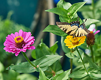 Tiger Swallowtail Butterfly. Image taken with a Nikon D5 camera and 105 mm f/1.4 lens.