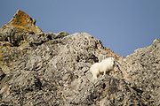 Mountain goat on a rugged rock face in Wyoming