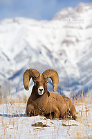 A giant bighorn sheep ram in Jasper National Park