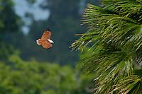 Brahminy Kite (Haliastur indus) in flight over rain forest in Halmahera Island, Indonesia.