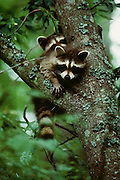 Young Raccoons look down from a tree.