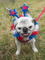 United States, Washington, Bellevue, Annual 4th of July celebration for dogs and owners