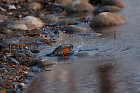 I saw this Robin taking a bath in the river at Carburn Park.  It's the first time I've seen a Robin in the water, never mind actually bathing.  It was pretty neat to see!..©2009, Sean Phillips.http://www.Sean-Phillips.com