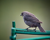 Female Brown-headed Cowbird. Image taken with a Nikon D5 camera and 600 mm f/4 VR lens (ISO 1600, 600 mm, f/4, 1/1250 sec).