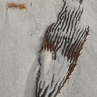 A kelp leaf lies on a beach on Carcass Island, in Britain's Falkland Islands.