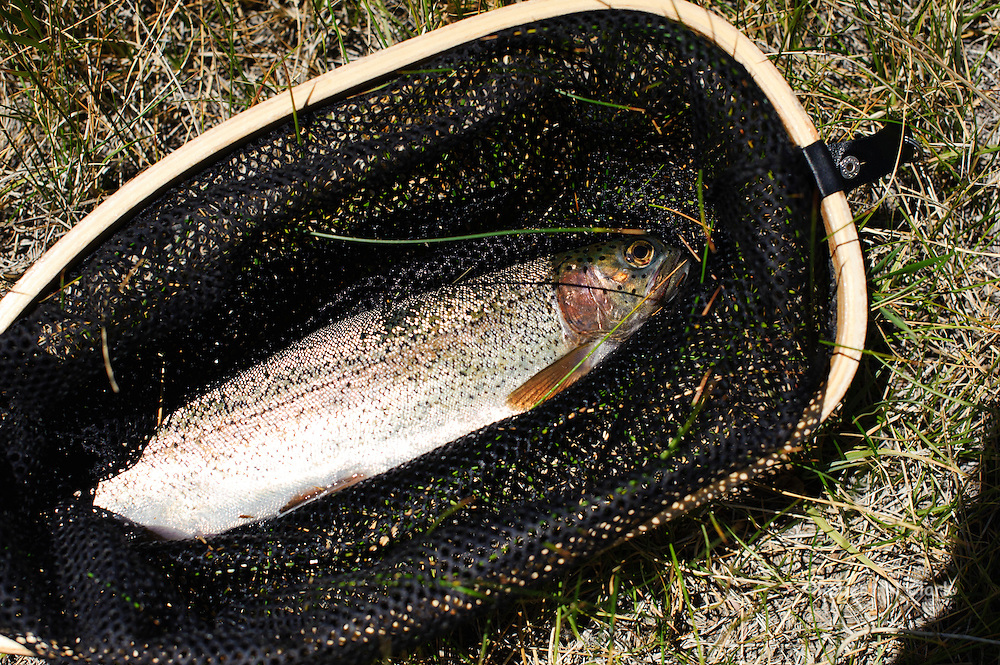 Rainbow Trout caught in McGee Creek in the California Sierra