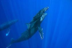 humpback whales, mother, calf, and escort, Megaptera novaeangliae, Big Island, Hawaii, Pacific Ocean