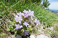 Gentian (Gentianella germanica) on Dachstein, Salzkammergut, Austria © Rudolf Abraham