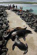 Ecotourists and Galapagos Sea Lions (Zalophus wollebaeki), Tagus Cove, Isabela, Galapagos, Ecuador