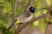 Pycnonotus xanthopygos, Israel Yellow-vented Bulbul AKA White-Spectacled Bulbul, perched on a branch