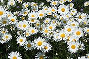 Daisies, Oxfordshire, England, United Kingdom