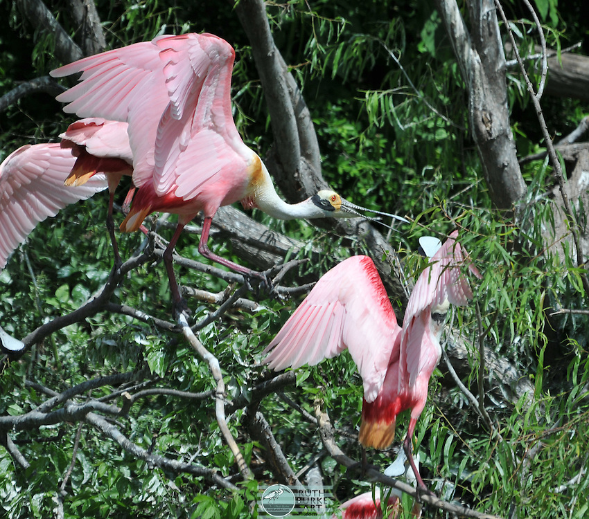 Roseate Spoonbill water birds perched on tree limbs at Smith Woods on High Island, Texas.